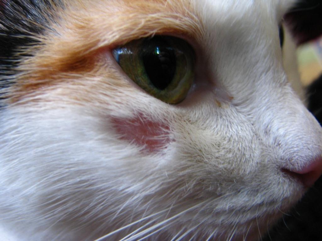 У кошки на шее и голове коросты и корки, она постоянно и сильно расчесывает себя, чешет морду, кот часто моется и лижется до болячек, но нет блох, как быть?