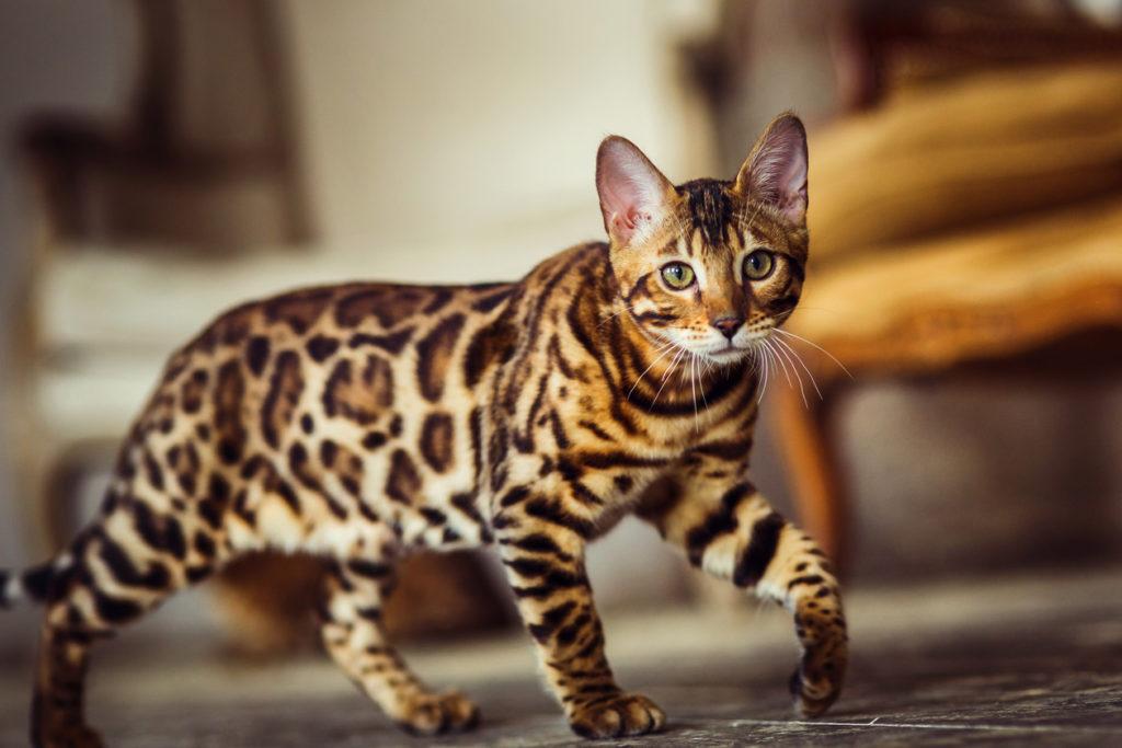 Необычные кошки: обзор уникальных пород