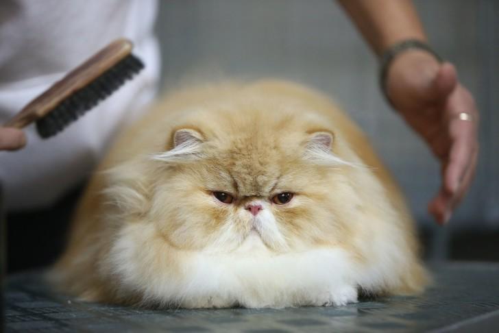 Вычесывание персидского кота