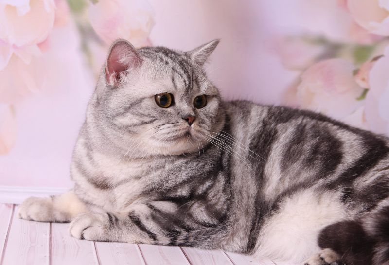 Порода кошек скоттиш-страйт