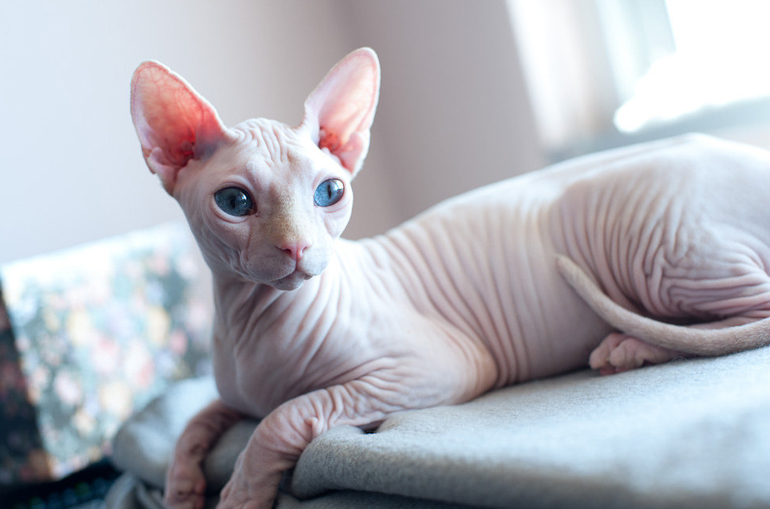 Белая кошка с голубыми глазами