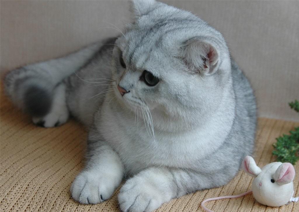 коты британская шиншилла можно смело