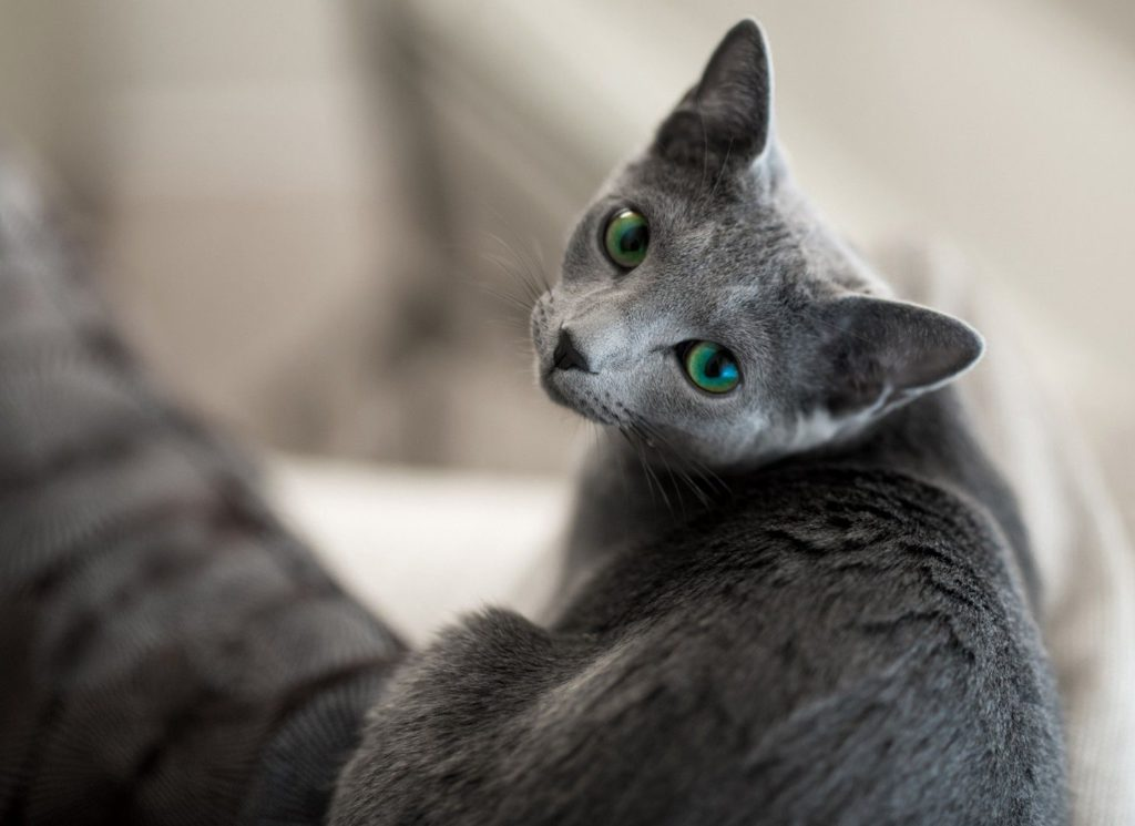 Породы кошек по уровню линьки. Породы кошек, которые не линяют, мало линяют, умеренно линяют, сильно линяют.