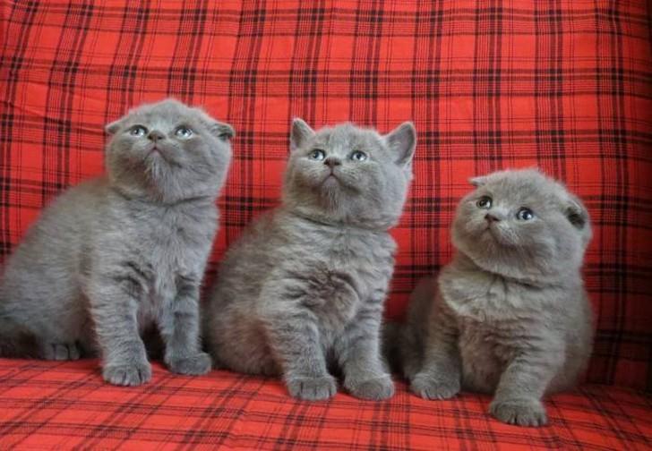 скота низкой отличие шотландских котят от британских фото включает себя