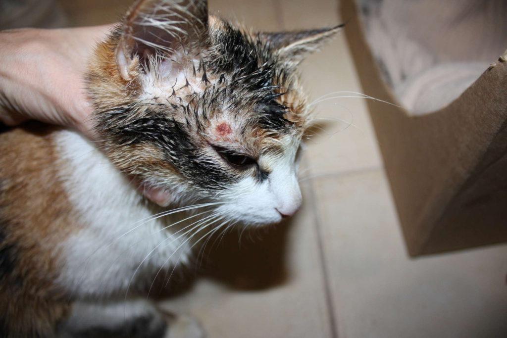 Абсцесс у кошек: лечение в домашних условиях