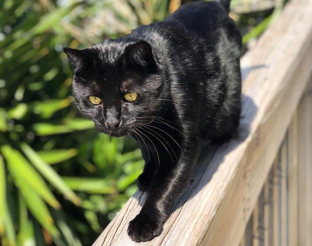 черные коты порода распространения орлов довольно