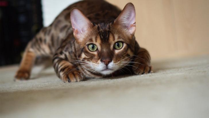 Мордочка бенгальского кота