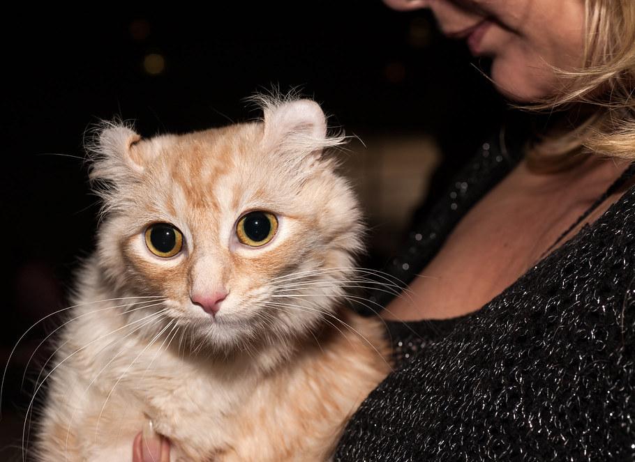Породы кошек без хвоста и с коротким хвостом - фото и названия.