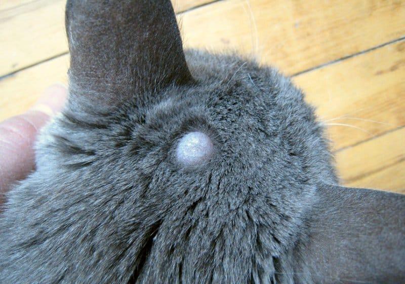 Шишка на шее у кота - что делать