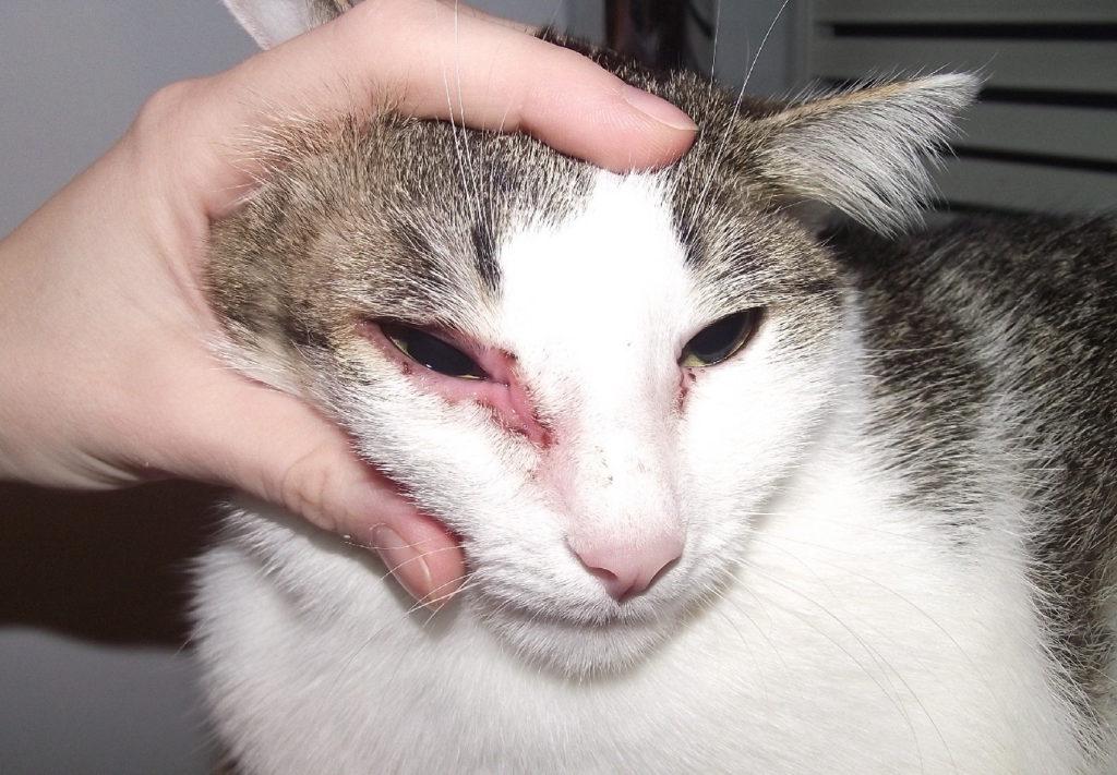 Лечение кошек от грибка