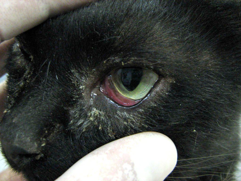 Болезнь глаз у кошек картинки