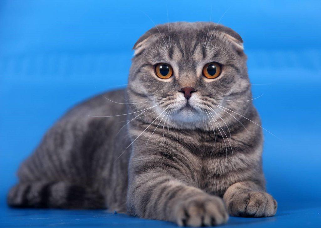 картинки с котиками вислоухими породистыми вырывание электронов вещества