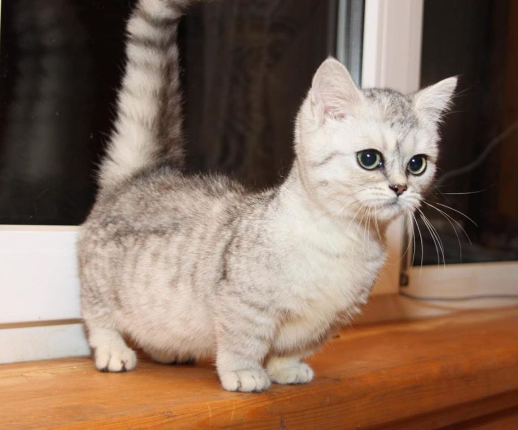 порода мини кошек фото дачи