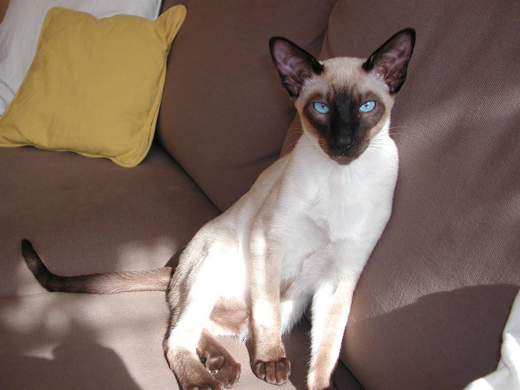 Вс о белых голубоглазых кошках