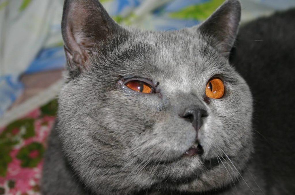 Опух глаз у кота причины