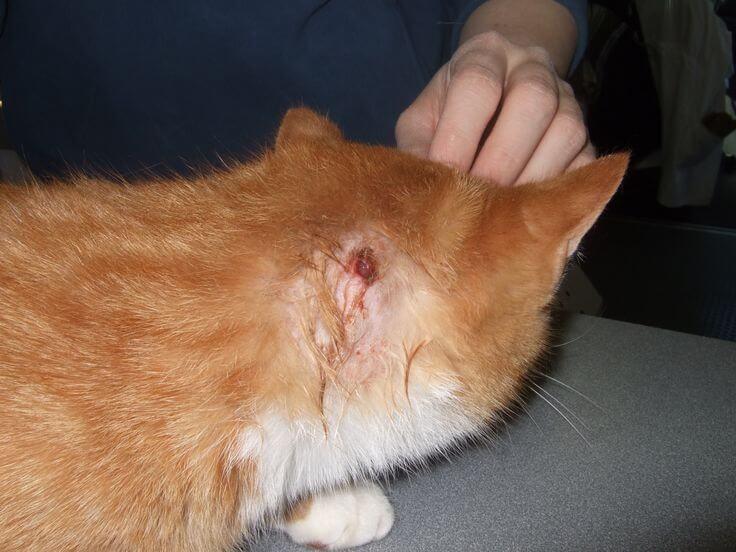 Откуда берутся шишки на животе у кошки Чем лечить шишки на животе у кошки