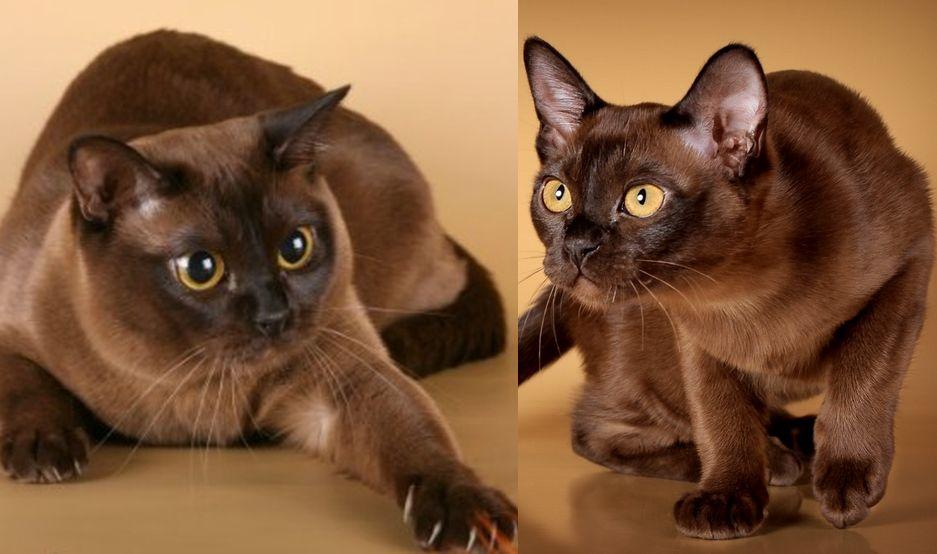 Описание породы Бурманская кошка  есть ли вообще у этой красавицы отрицательные черты