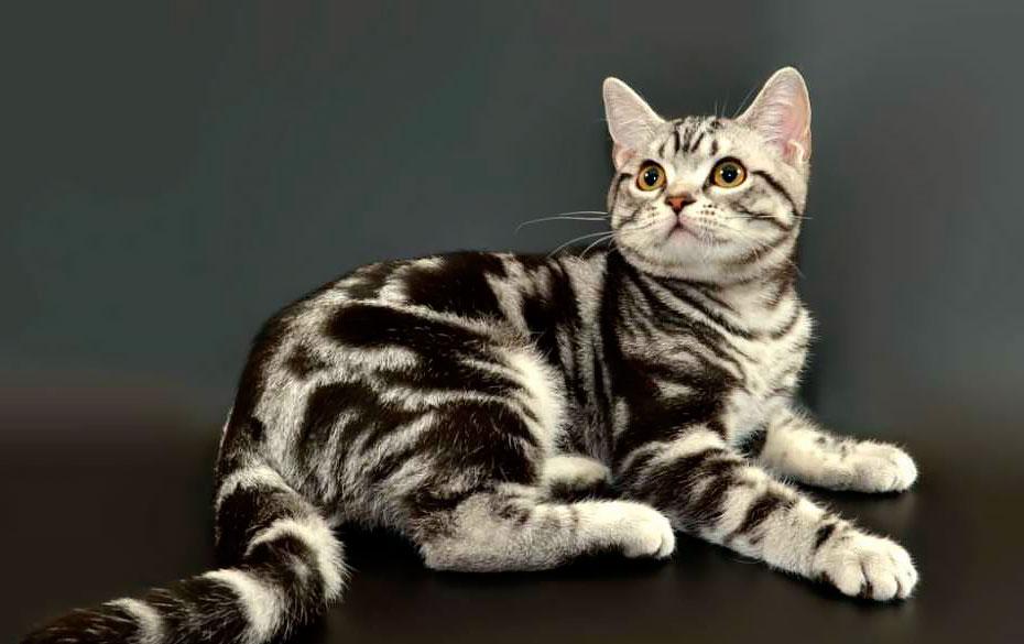 Подробное описание экзотической короткошерстной кошки