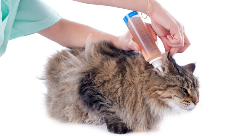 Запах из ушей у кошек: у кота из уха пахнет тухлым