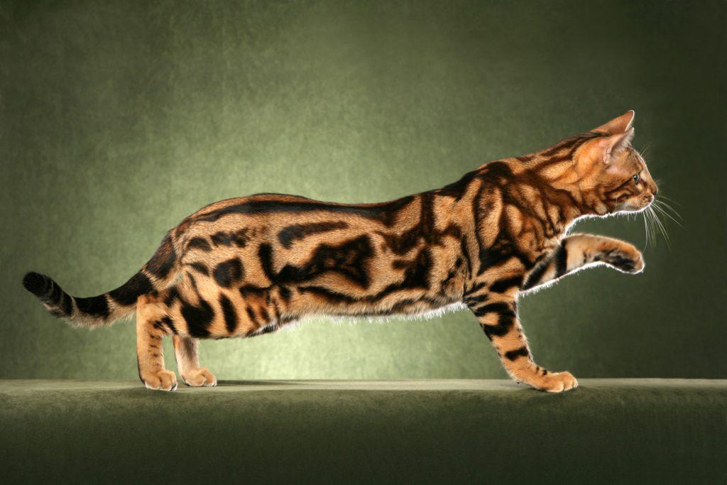 фотосессия бенгал кот фото мраморный алуште выгодно пользой
