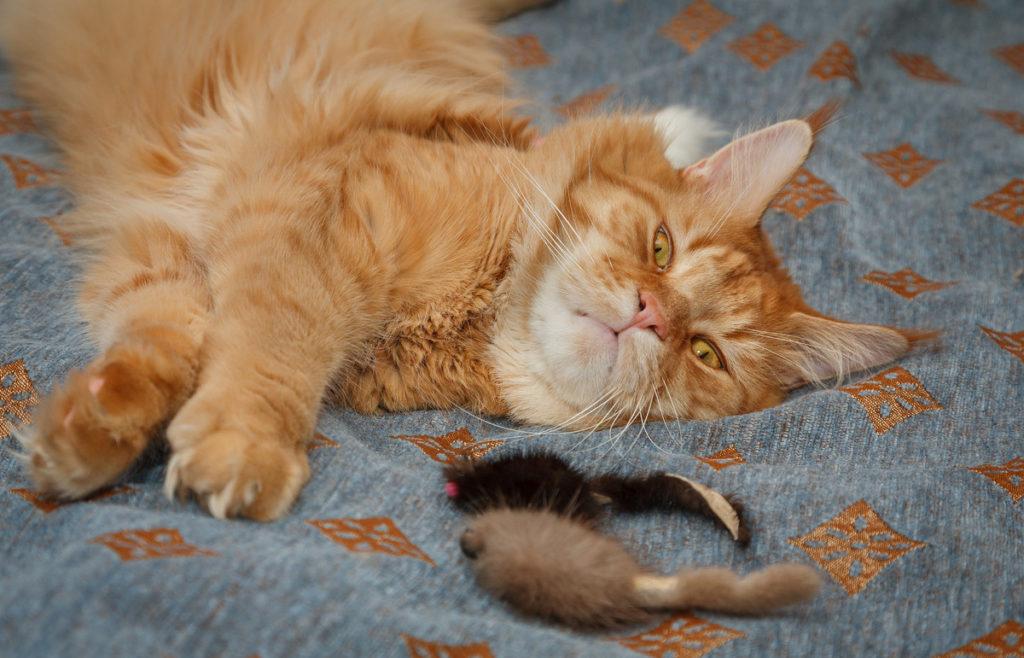 Кошка для ловли мышей порода