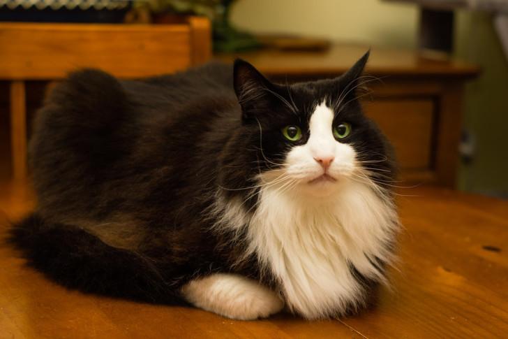 Черный норвежский кот