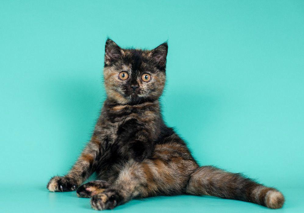 Котята черепаховые картинки