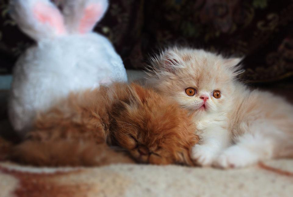 Снупи – кот экзот: фото и описание экзотической короткошерстной кошки, особенности породы
