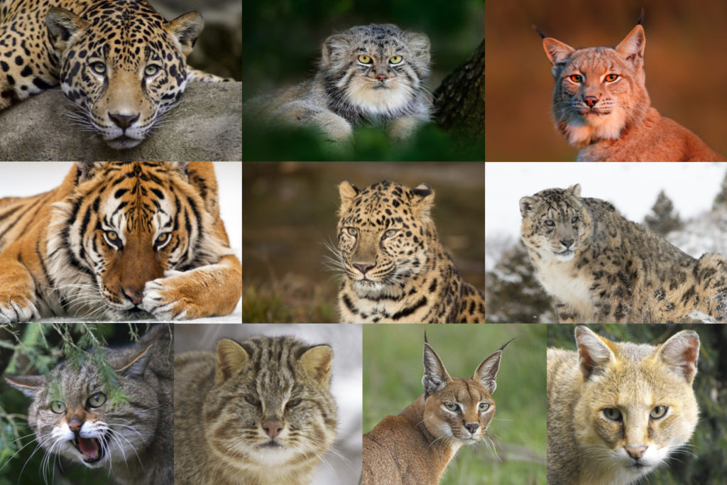 Дикие кошки: фото диких кошек с названиями. Фотографии тигров, леопардов, львов, ягуаров и других кошек.