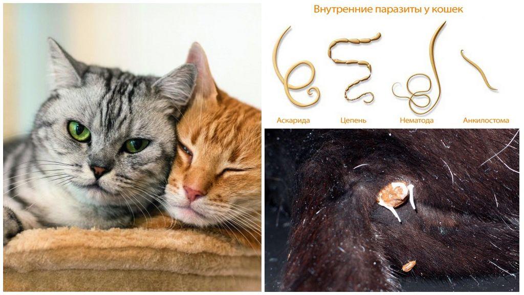 У Кота Глисты И Похудел. Глисты у кошек