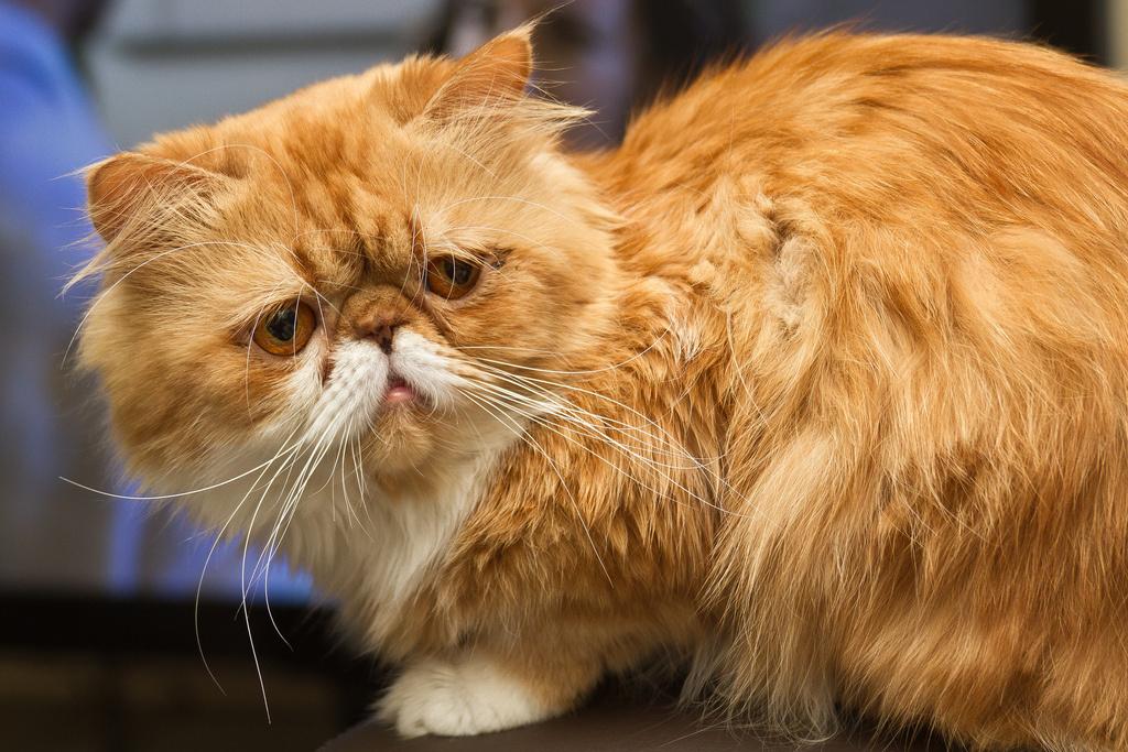 Хорошее, персидский кот в картинках