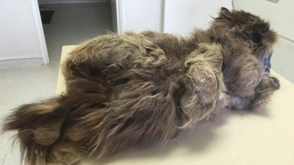 Проблемы у кошек с шерстью фото