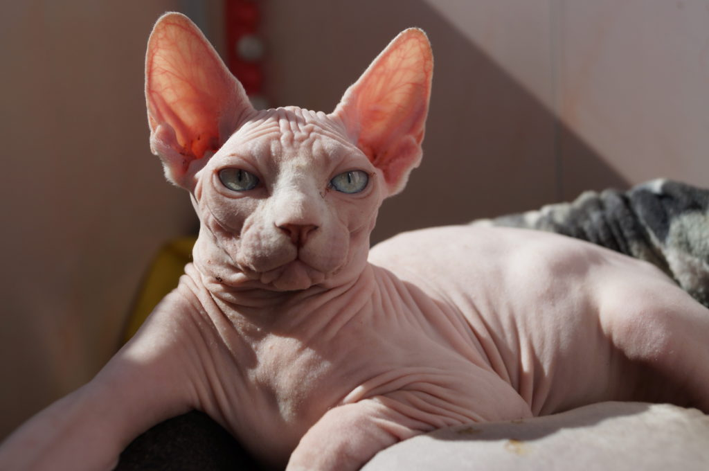 Гипоаллергенные породы кошек и котов на которых нет аллергии