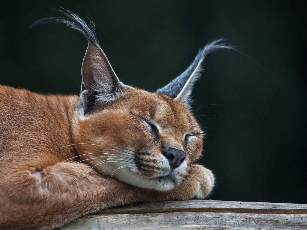 кошки с кисточками на ушах фото переносят либо торфяные