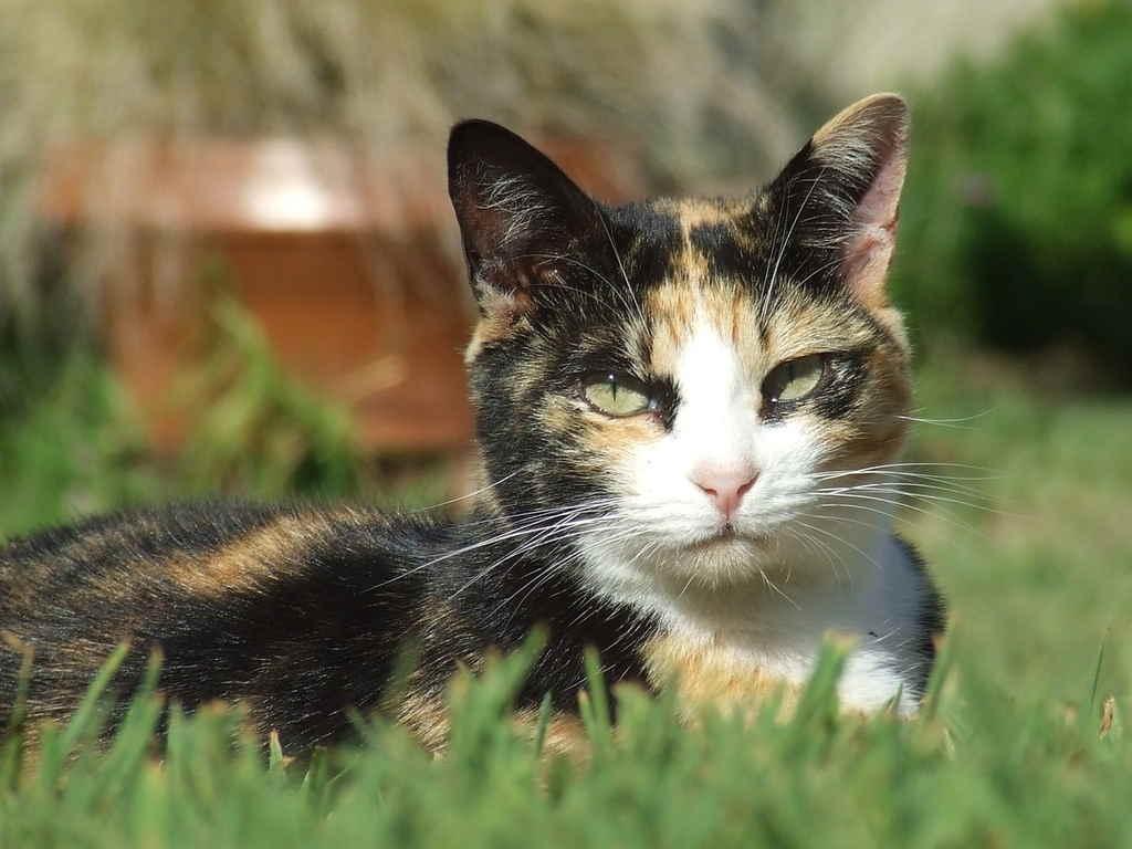 коронавирус у кошек симптомы и лечение вакцина от инфекции