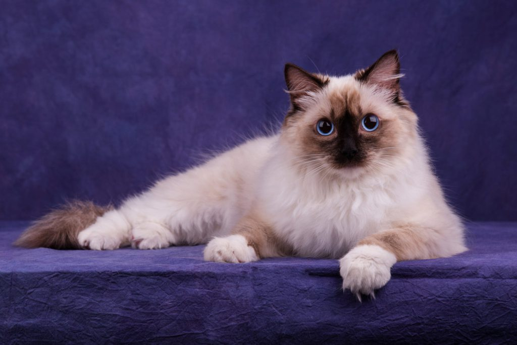 Коты породы рэгдолл