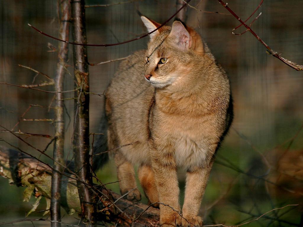 показать фото камышовой кошки и ее рост кого-нибудь