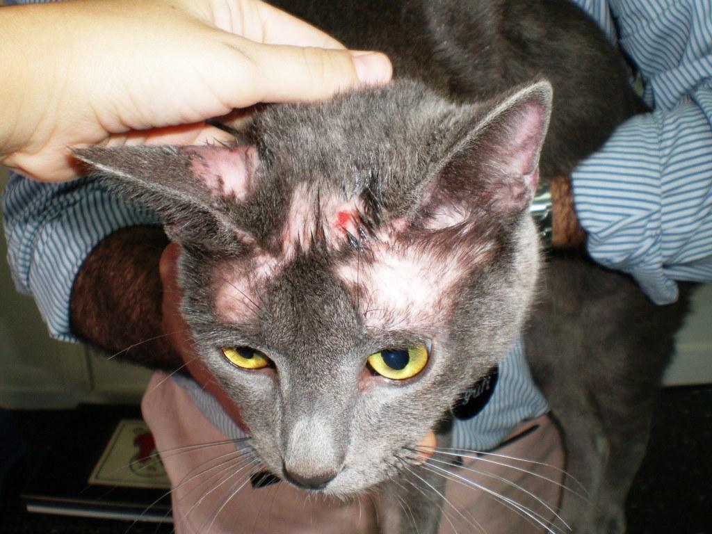 Как выглядит лишай у кошек и его признаки. Что с этим делать и как лечить от стригучего лишая