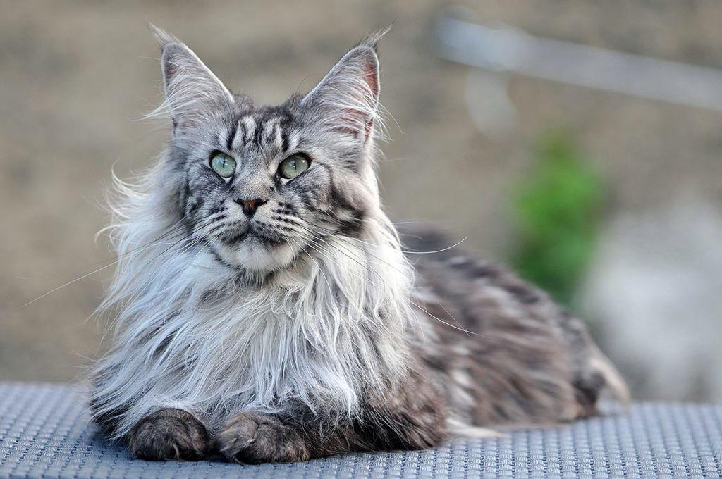 Гипертрофическая кардиомиопатия у кошек (ГКМП): симптомы, лечение, профилактика