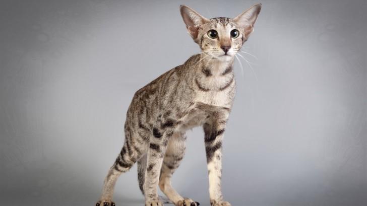 Кошка породы серенгети