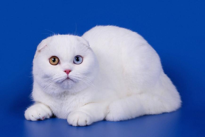 Картинки белых вислоухих котят