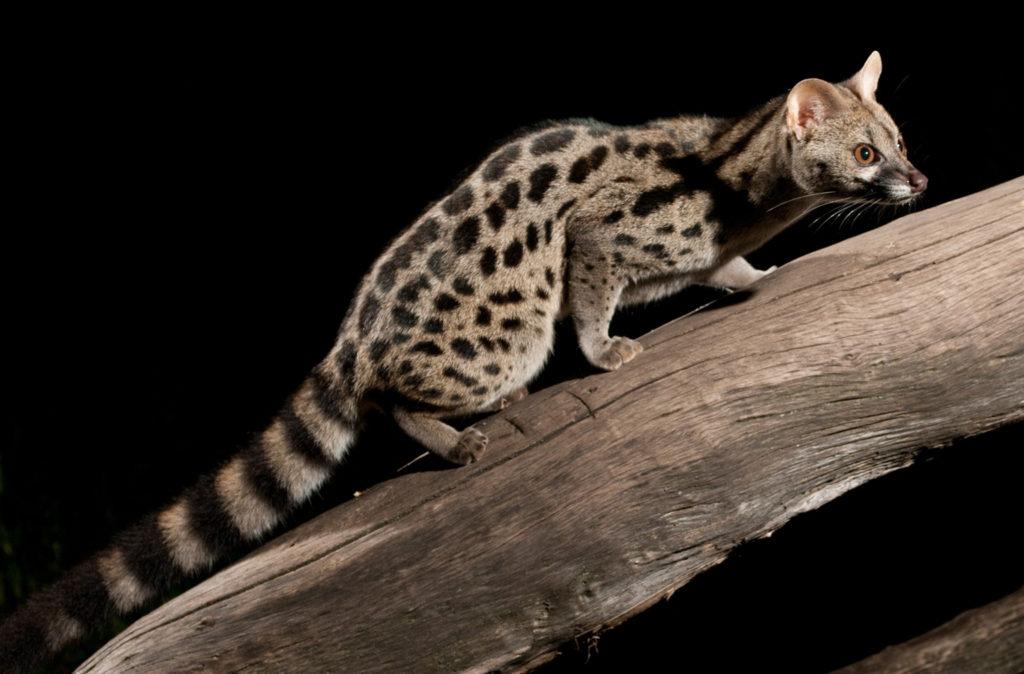 Породы кошек с короткими лапами - названия, описание и фото