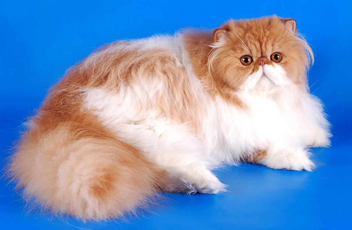Достоинства и недостатки пород котов с плоской мордой