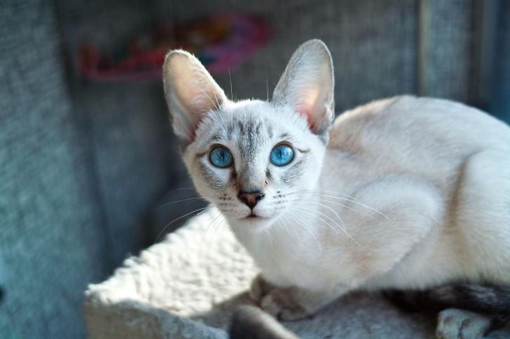 Светлая сиамская кошка