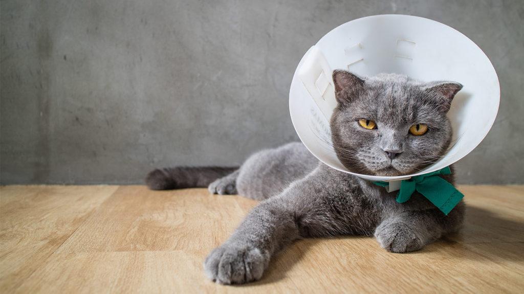 Делаем защитный елизаветинский воротник для кошки своими руками - CatDogPet