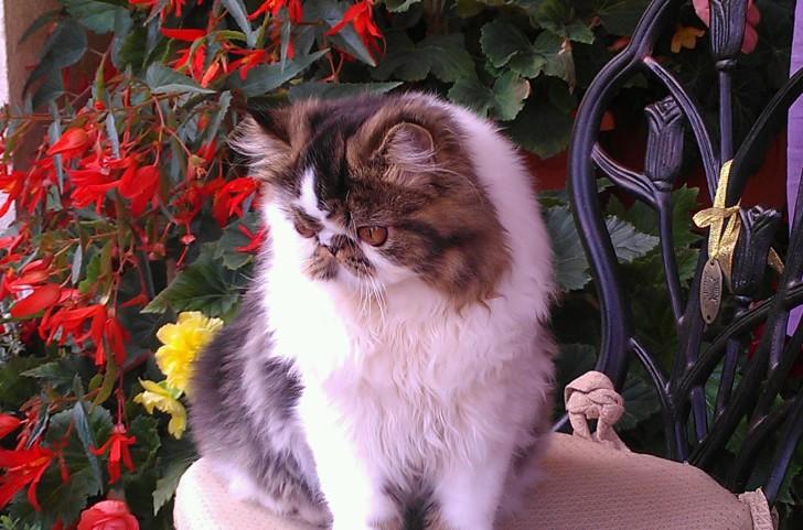 Экстремальная персидская кошка