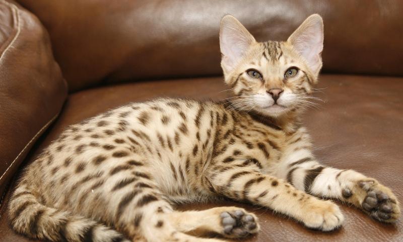 Аллергия на кошек: симптомы, лечение у детей и взрослых