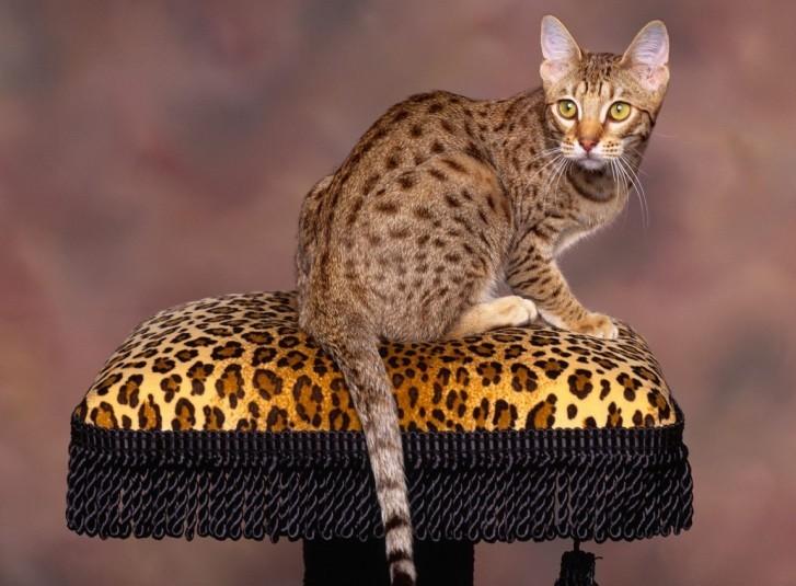 Кошка мау