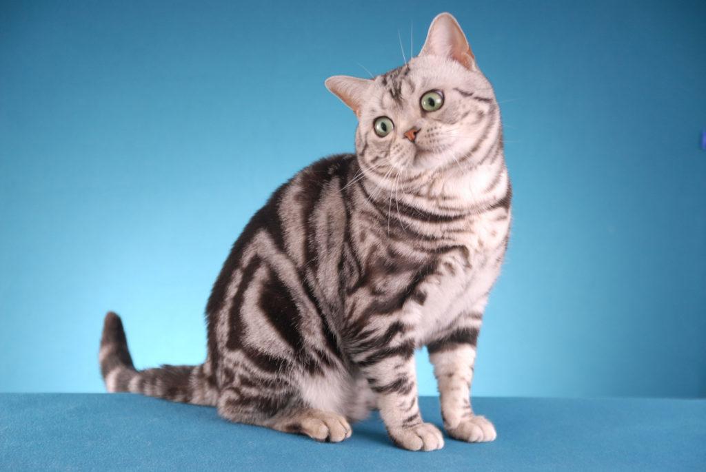 Енотовидный кот характеристики и особенности ухода