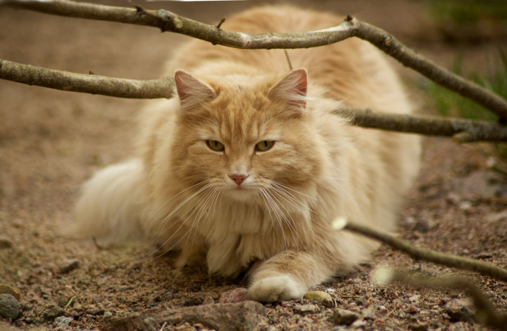 Рыжий норвежский кот
